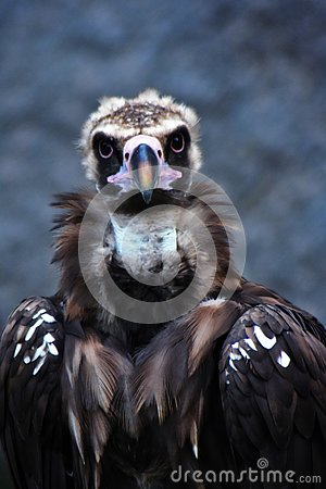 Free Griffon Vulture Bird Portrait Taken In Moscow Zoo. Royalty Free Stock Images - 133562889