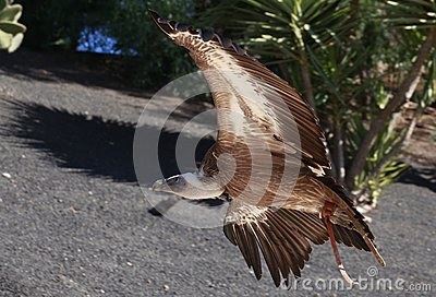 Griffon Vulture flying in a park