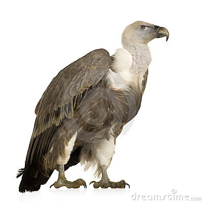 Free Griffon Vulture - Gyps Fulvus Stock Photos - 4024203