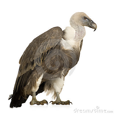 Free Griffon Vulture - Gyps Fulvus Stock Photos - 4024223