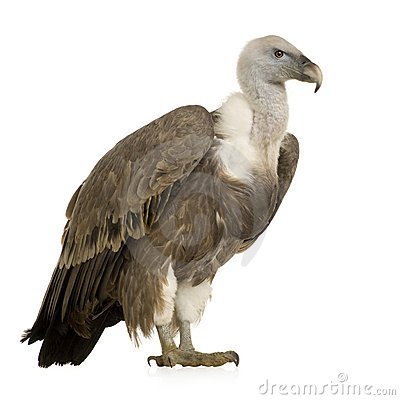 Free Griffon Vulture - Gyps Fulvus Royalty Free Stock Image - 4024316