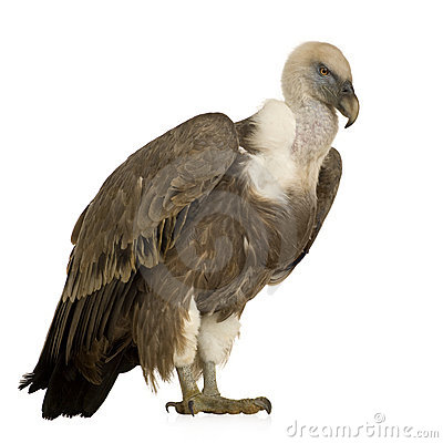 Free Griffon Vulture - Gyps Fulvus Royalty Free Stock Photo - 4024325