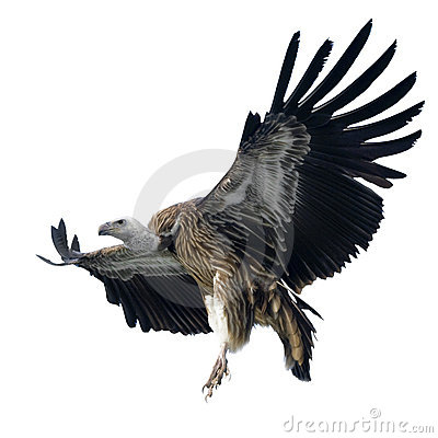 Free Griffon Vulture - Gyps Fulvus Stock Images - 4783354