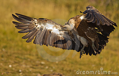 Griffon Vulture landing on the ground
