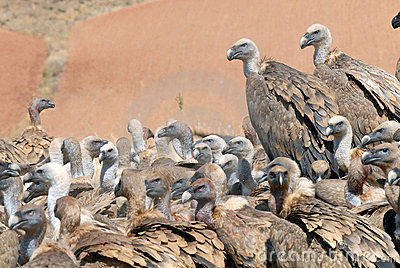 Griffon vulture and natural landscape