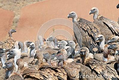 Griffon vulture and natural landscape