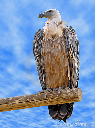 Free Griffon Vulture On Branch Royalty Free Stock Photos - 12177218