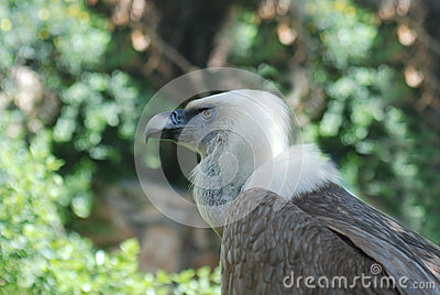 Griffon vulture in a portrait