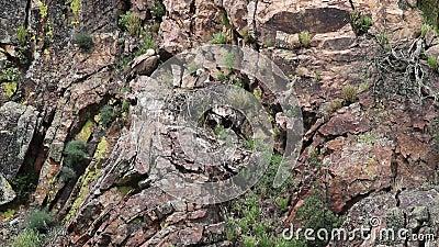 Griffon vultures upon nest, Spanish Extremadura stock video footage