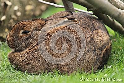 Grijs konijn