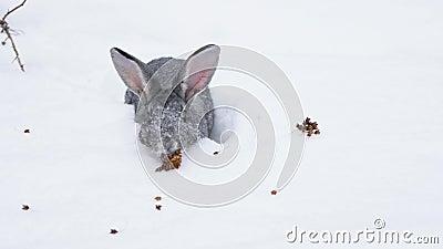 Grijs konijn in de sneeuw stock footage