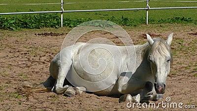 Grijs paard die op de grond liggen stock video