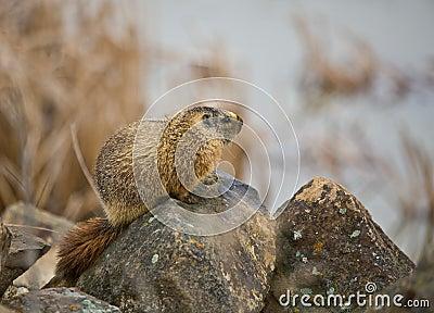 Grijswitte Marmot #2