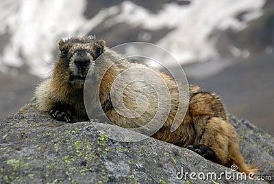 Grijswitte marmot