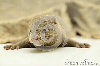 Grijze dierlijke mink