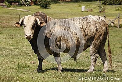 Grijze oude stier