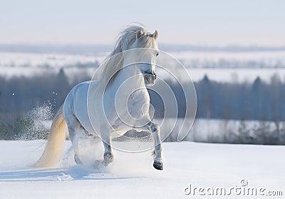 Grijze Welse poney