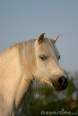 Grijze Welse poney