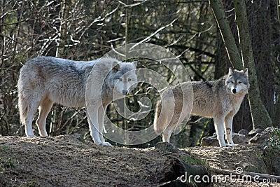 Grijze wolven erdogan