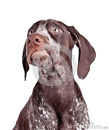 Free Grining Dog Stock Photography - 13058312