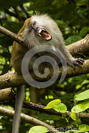 Grinning macaque