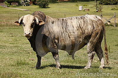Grizzled alter Stier