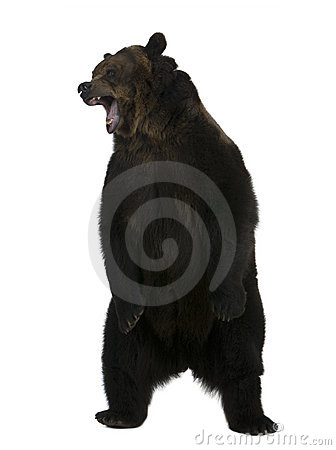 grizzly bear standing. GRIZZLY BEAR, 10 YEARS OLD,