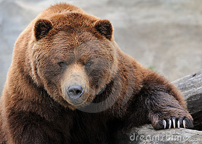 Grizzly Bear Stock Images - Image: 19383784