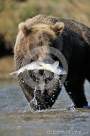 Free Grizzly Bear Royalty Free Stock Image - 26375736