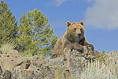 Grizzly Bear Royalty Free Stock Image - Image: 5486636