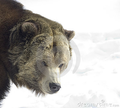 Free Grizzly Bear Royalty Free Stock Image - 68776