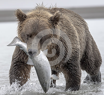 Free Grizzly Bear And Salmon. Royalty Free Stock Image - 76747196