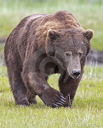 Free Grizzly Bear Boar Royalty Free Stock Photos - 12598378