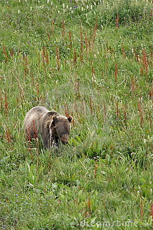 Grizzly Bear Cub in Meadow