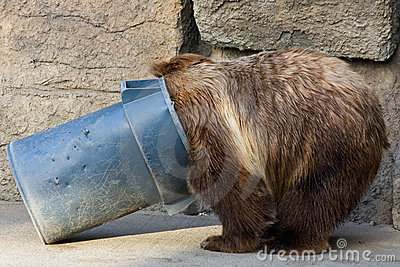 Grizzly Bear Digging in a Trash Can