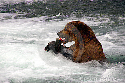Grizzly Bear eats Salmon