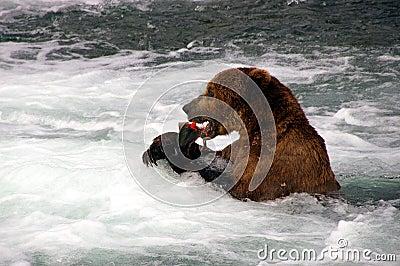 Grizzly Bear eats Salmon