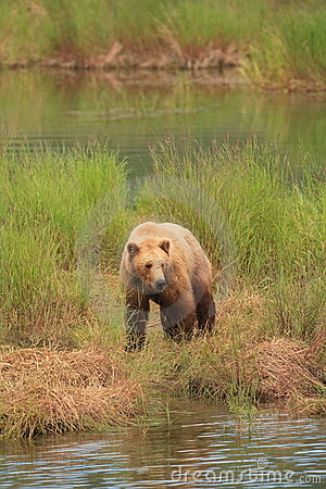 Grizzly Bear Gaze II