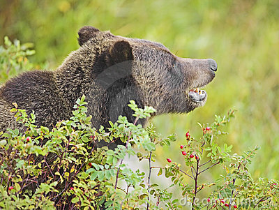 Grizzly bear hiding in rose bush