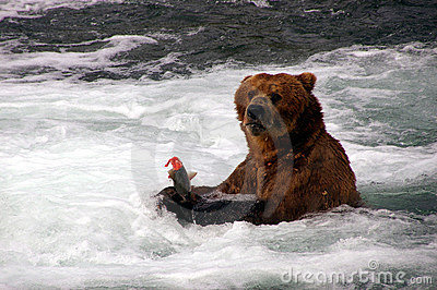 Grizzly Bear and Salmon