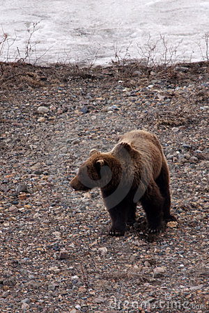 Grizzly Bear in Spring, II