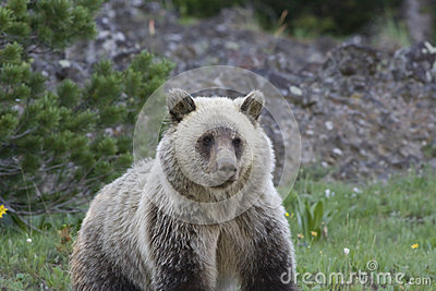Grizzly Bear (Urus actors horribilis)