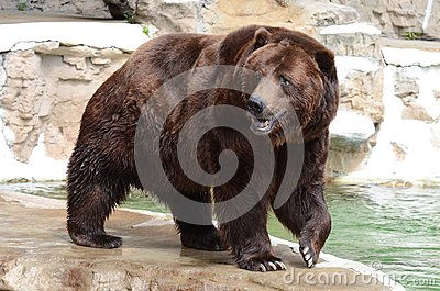 Grizzly bear4