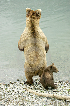 Free Grizzly Bears Stock Photography - 5987002