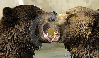 Grizzly Bears Kissing Royalty Free Stock Image Image