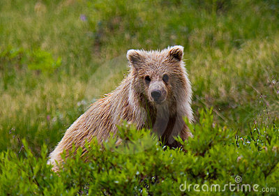 Grizzly Cub in Denali National Park, Alaska