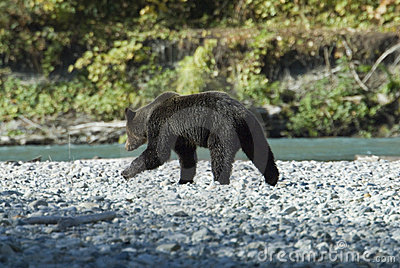 Grizzly at the river