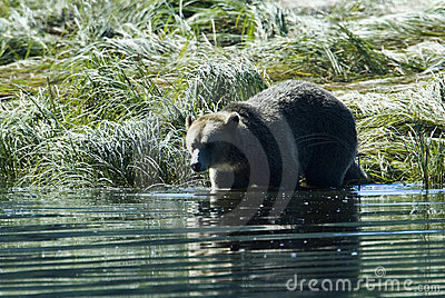 Grizzly steps into the water