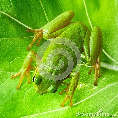 Grön trädgroda på bladet