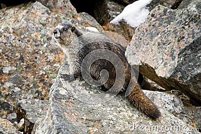 Grånad marmot